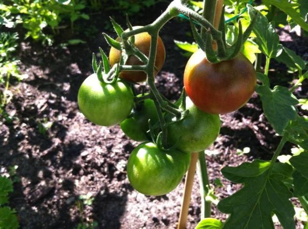 2014 Aug 04 Tomatoes